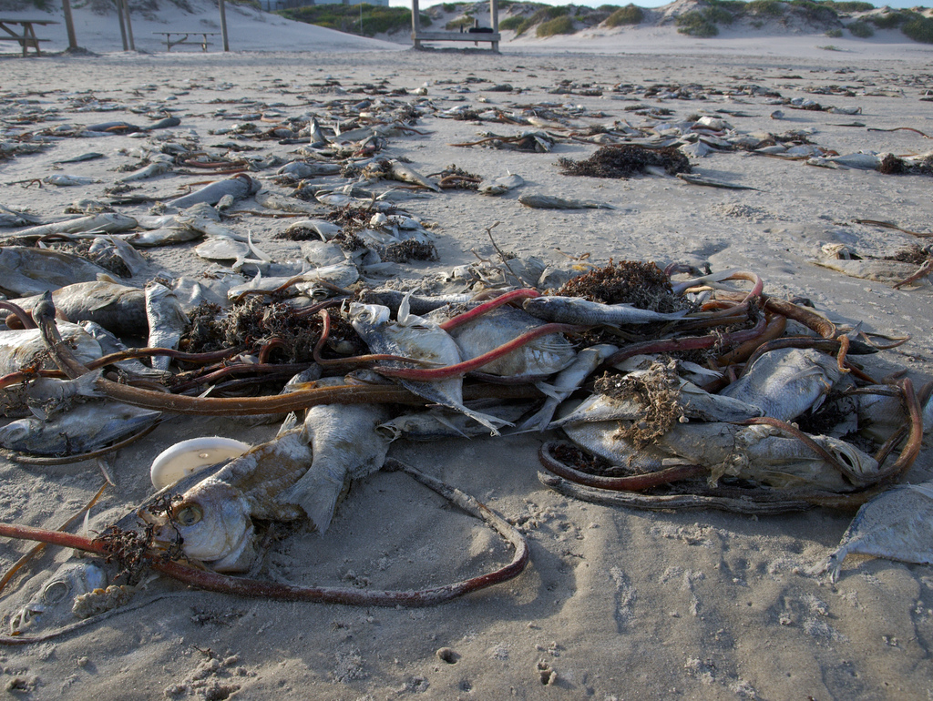 Red tide spreads to Florida's east coast